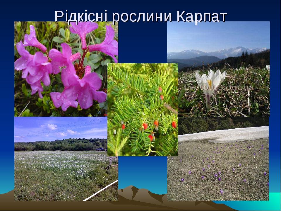 Рідкісні рослини Карпат