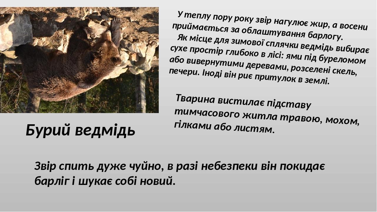 Бурий ведмідь У теплу пору року звір нагулює жир, а восени приймається за облаштування барлогу. Як місце для зимової сплячки ведмідь вибирає сухе п...