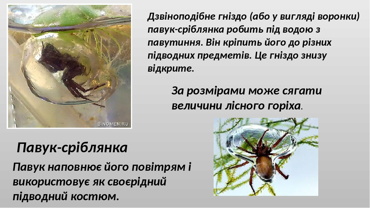 Павук-сріблянка Дзвіноподібне гніздо (або у вигляді воронки) павук-сріблянка робить під водою з павутиння. Він кріпить його до різних підводних пре...