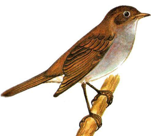 Птица соловей картинки для детей
