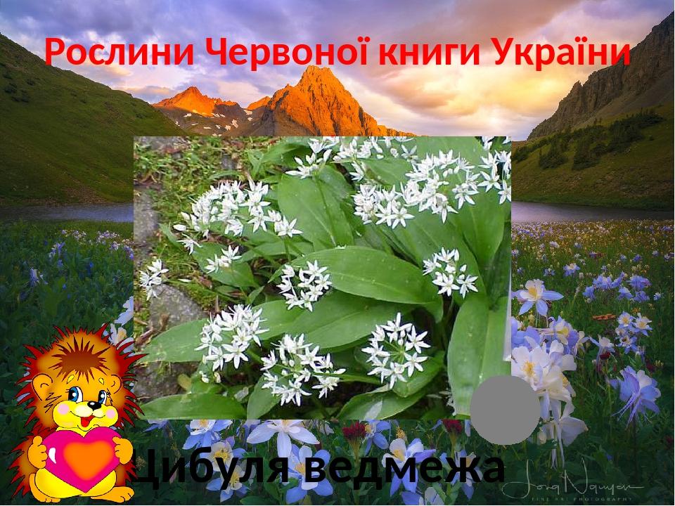 Рослини Червоної книги України Ліс Цибуля ведмежа