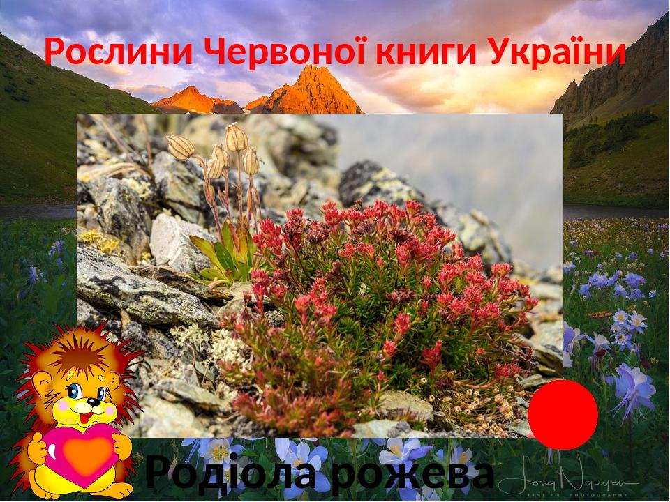 Рослини Червоної книги України Карпатські, Кримські гори Родіола рожева