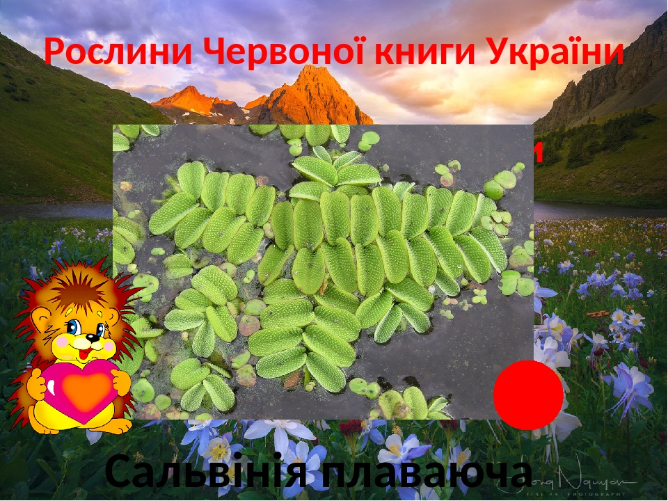 Рослини Червоної книги України Прісні болота і водойми Сальвінія плаваюча
