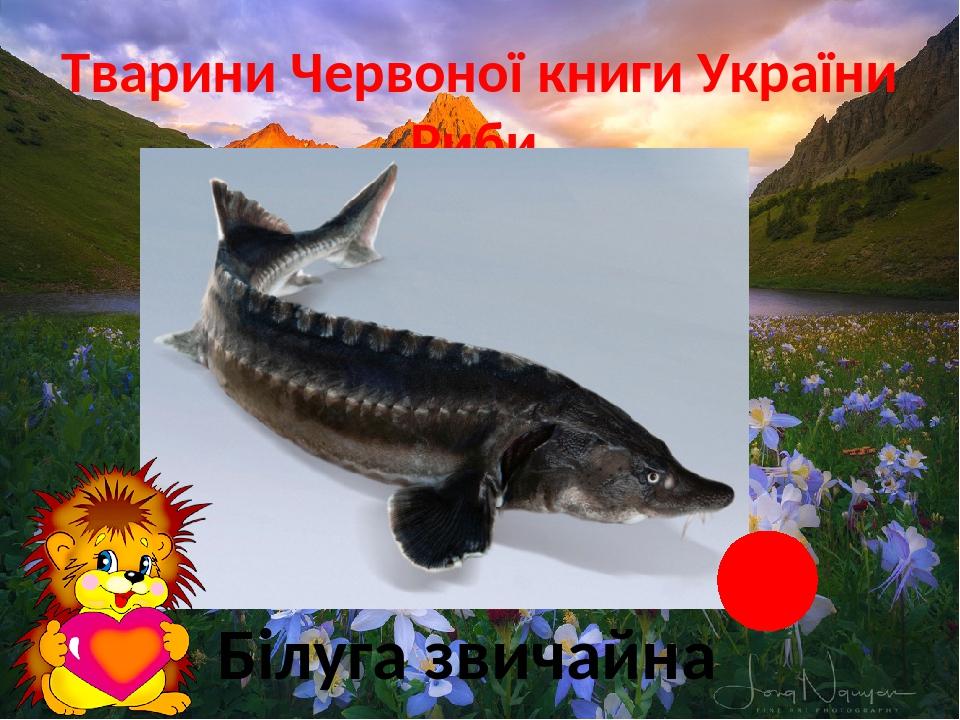 Тварини Червоної книги України Риби Білуга звичайна