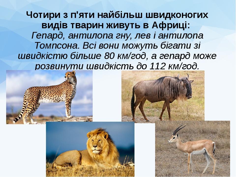 Чотири з п'яти найбільш швидконогих видів тварин живуть в Африці: Гепард, антилопа гну, лев і антилопа Томпсона. Всі вони можуть бігати зі швидкіст...