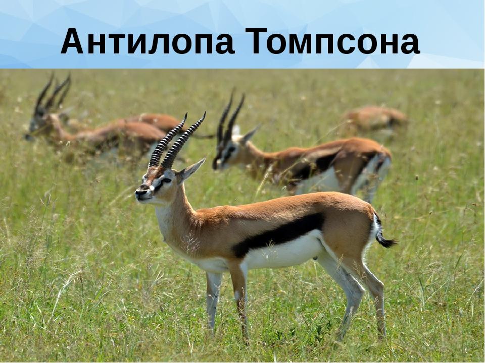 Антилопа Томпсона