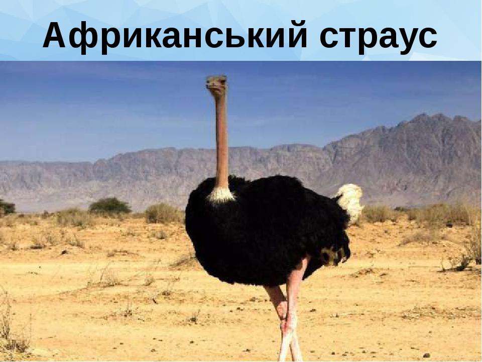 Африканський страус