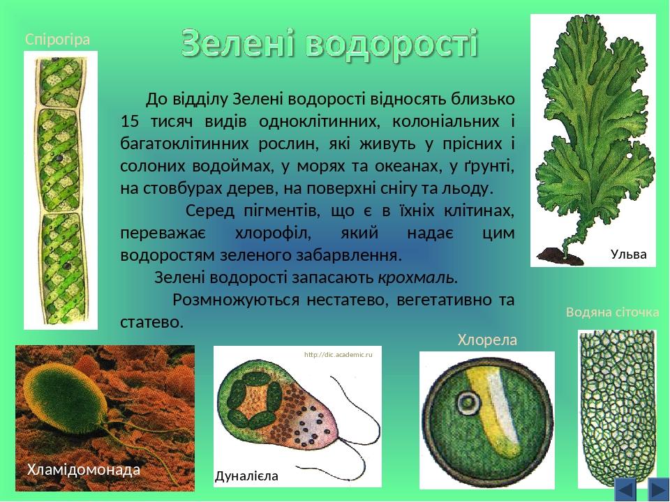 До відділу Зелені водорості відносять близько 15 тисяч видів одноклітинних, колоніальних і багатоклітинних рослин, які живуть у прісних і солоних в...
