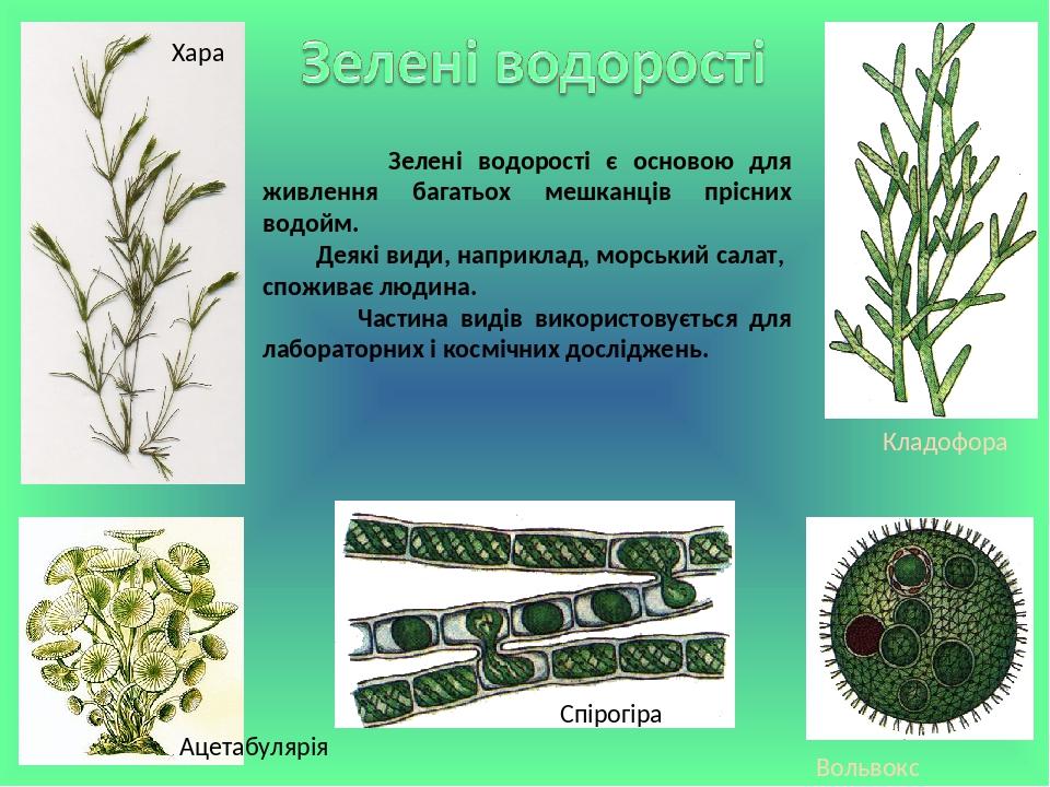 Спірогіра Вольвокс Кладофора Зелені водорості є основою для живлення багатьох мешканців прісних водойм. Деякі види, наприклад, морський салат, спож...