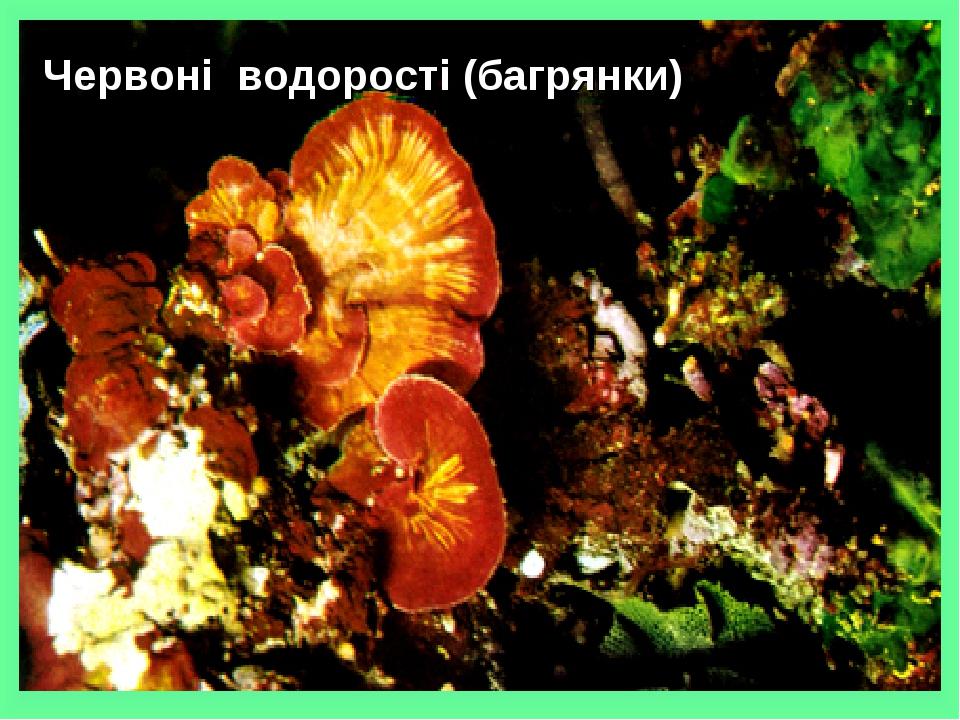 Червоні водорості (багрянки) Сліпчук І.Ю.