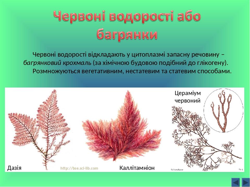 Дазія Цераміум червоний Каллітамніон http://bse.sci-lib.com Червоні водорості відкладають у цитоплазмі запасну речовину – багрянковий крохмаль (за ...