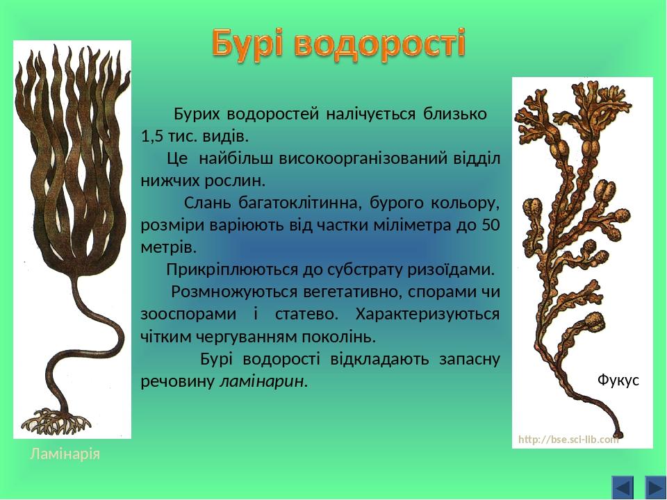Бурих водоростей налічується близько 1,5 тис. видів. Це найбільш високоорганізований відділ нижчих рослин. Слань багатоклітинна, бурого кольору, ро...