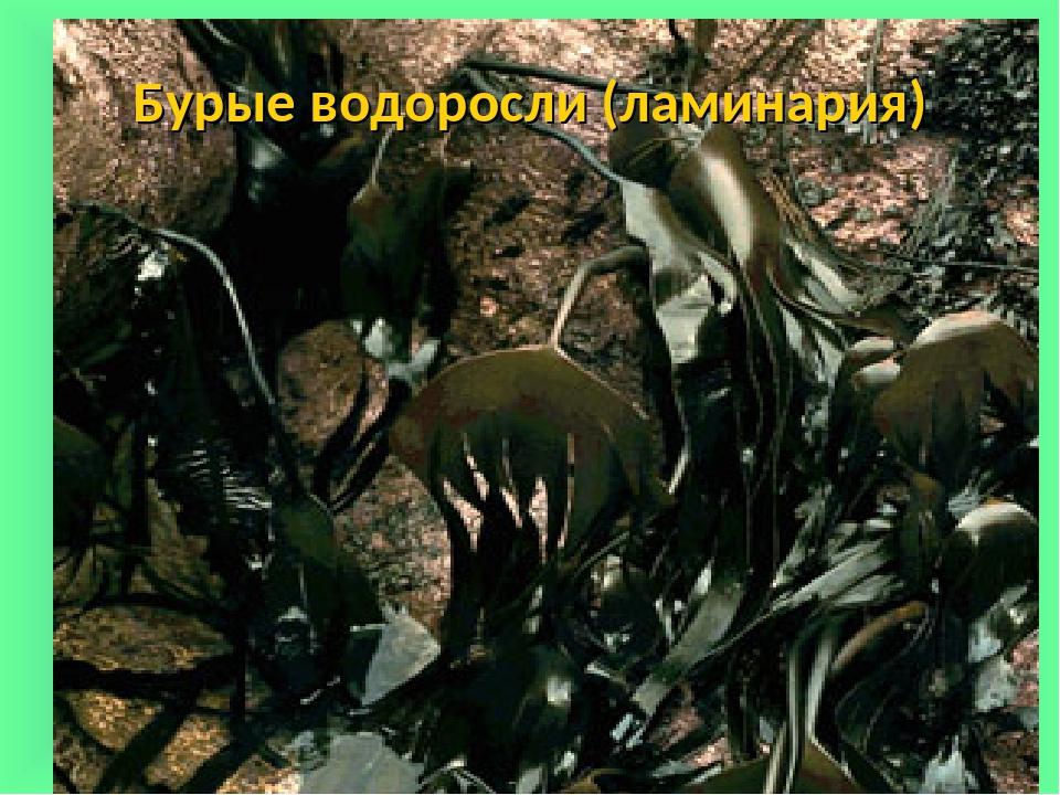 Бурые водоросли (ламинария) Сліпчук І.Ю.