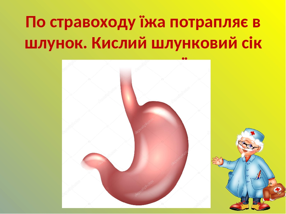 По стравоходу їжа потрапляє в шлунок. Кислий шлунковий сік перетравлює їжу