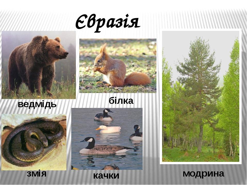 Євразія ведмідь білка змія качки модрина