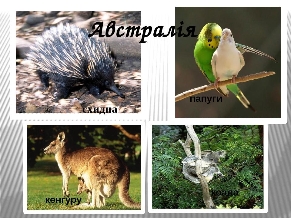 єхидна кенгуру папуги коала Австралія