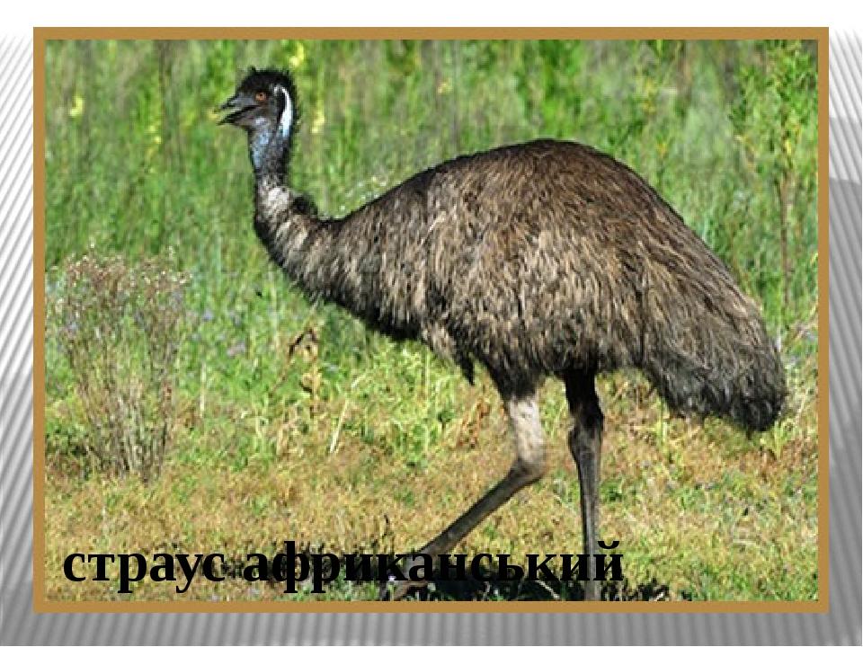 страус африканський