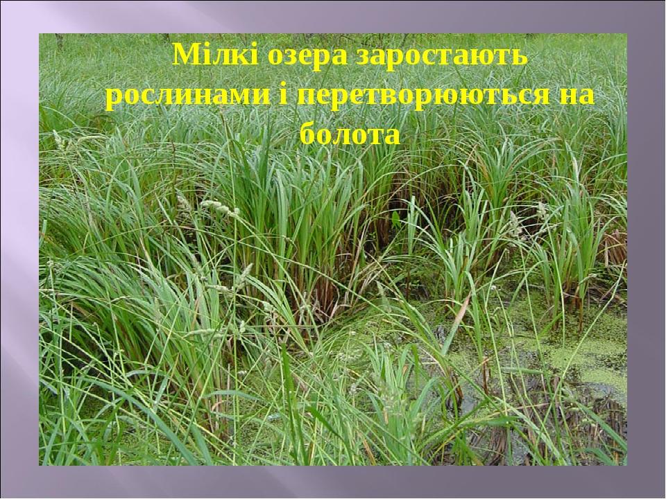 Мілкі озера заростають рослинами і перетворюються на болота