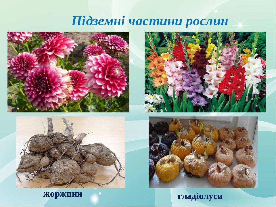 Підземні частини рослин жоржини гладіолуси