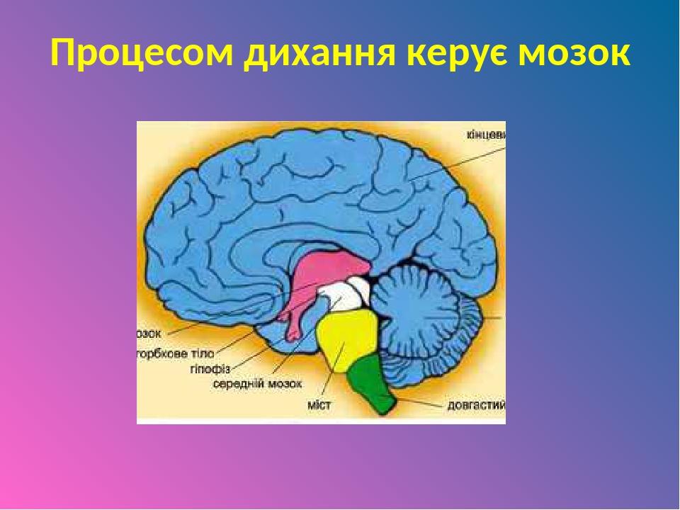 Процесом дихання керує мозок