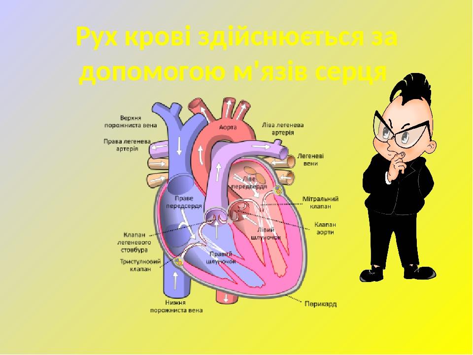Рух крові здійснюється за допомогою м'язів серця