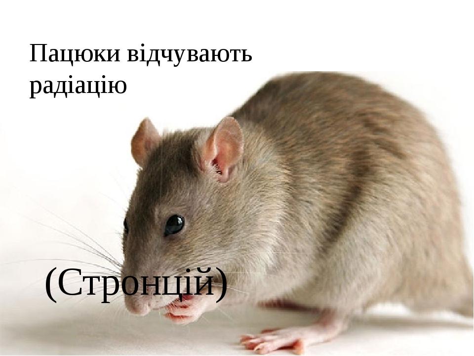 Пацюки відчувають радіацію (Стронцій)