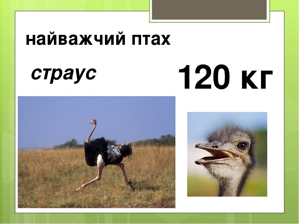 найважчий птах страус 120 кг