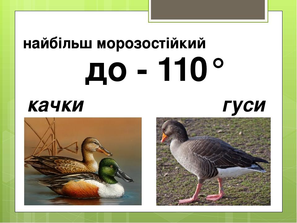 найбільш морозостійкий качки гуси до - 110°