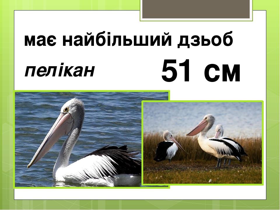 має найбільший дзьоб пелікан 51 см