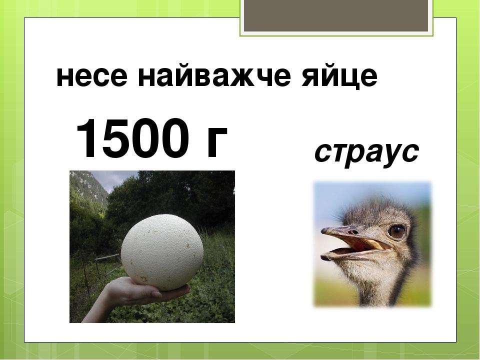 несе найважче яйце страус 1500 г
