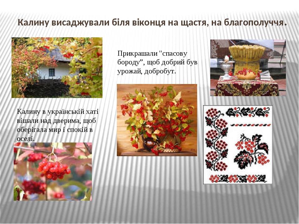 Калину висаджували біля віконця на щастя, на благополуччя. Калину в українській хаті вішали над дверима, щоб оберігала мир і спокій в оселі. Прикра...