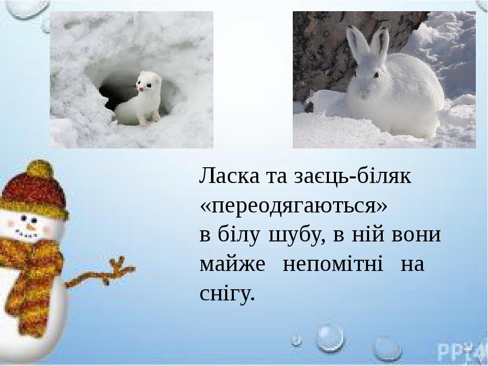 Ласка та заєць-біляк «переодягаються» в білу шубу, в ній вони майже непомітні на снігу.