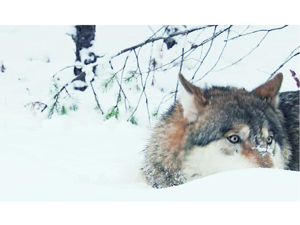 Картинка волк гифки, картинки