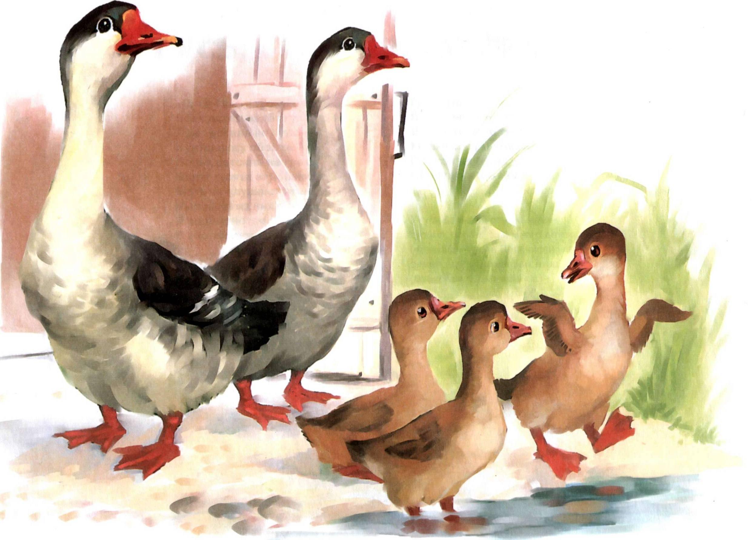 Картинка семья домашних птиц ней фотографии
