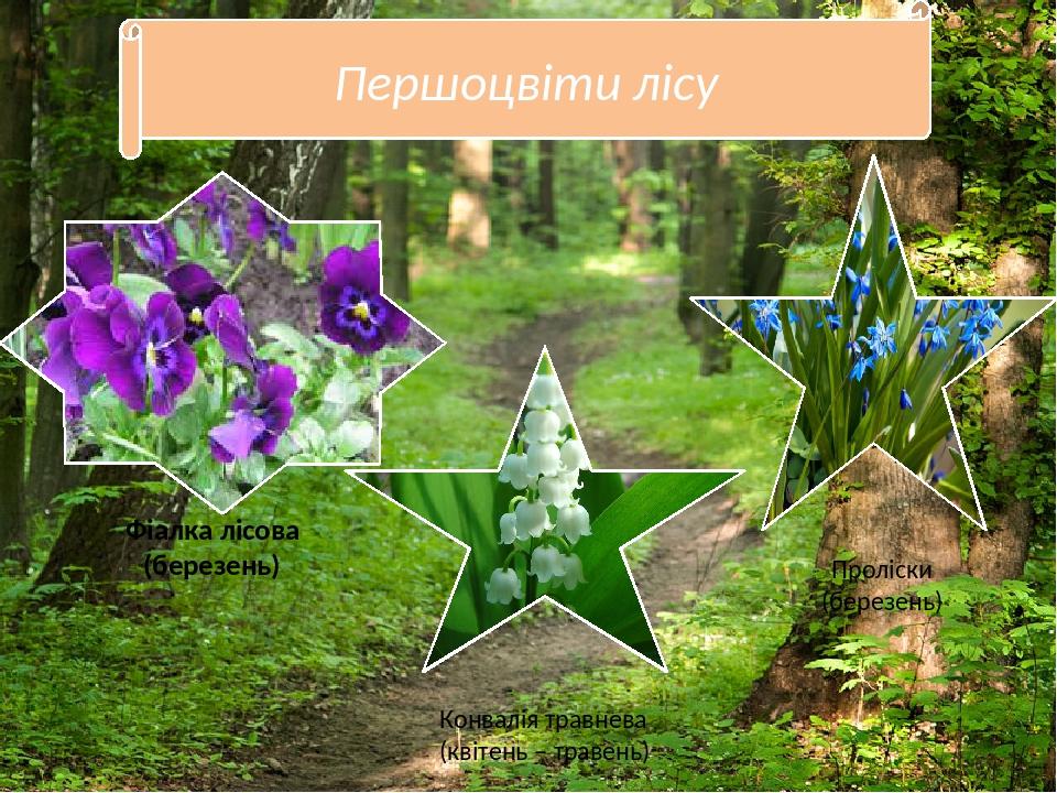 Першоцвіти лісу Конвалія травнева (квітень – травень) Проліски (березень) Фіалка лісова (березень)