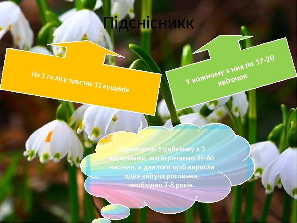 Підснісникк На 1 га лісу зростає 11 кущиків У кожному з них по 17-20 квіточок Вириваючи 1 цибулину з 3 квіточками, ми втрачаємо 45-60 насінин, а дл...