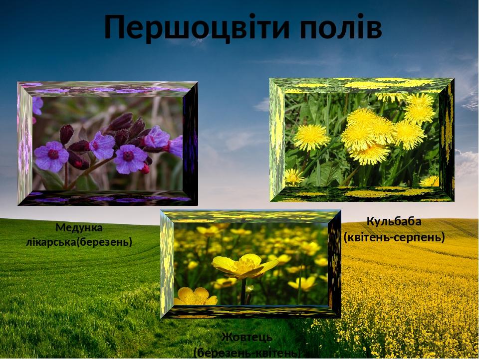 Першоцвіти полів Кульбаба (квітень-серпень) Жовтець (березень-квітень) Медунка лікарська(березень)