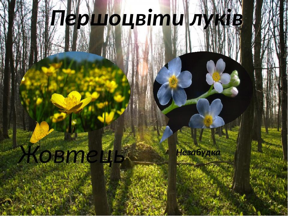 Першоцвіти луків Жовтець Незабудка