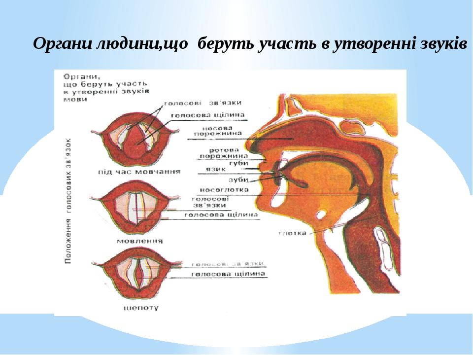 Органи людини,що беруть участь в утворенні звуків