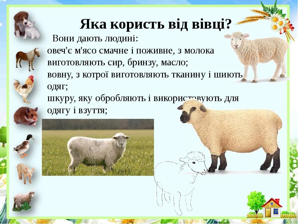 Яка користь від вівці? Вони дають людині: овеч'є м'ясо смачне і поживне, з молока виготовляють сир, бринзу, масло; вовну, з котрої виготовляють тка...