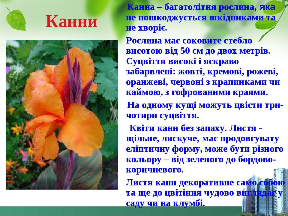 Канни Канна – багатолітня рослина, яка не пошкоджується шкідниками та не хворіє. Рослина має соковите стебло висотою від 50 см до двох метрів. Суцв...