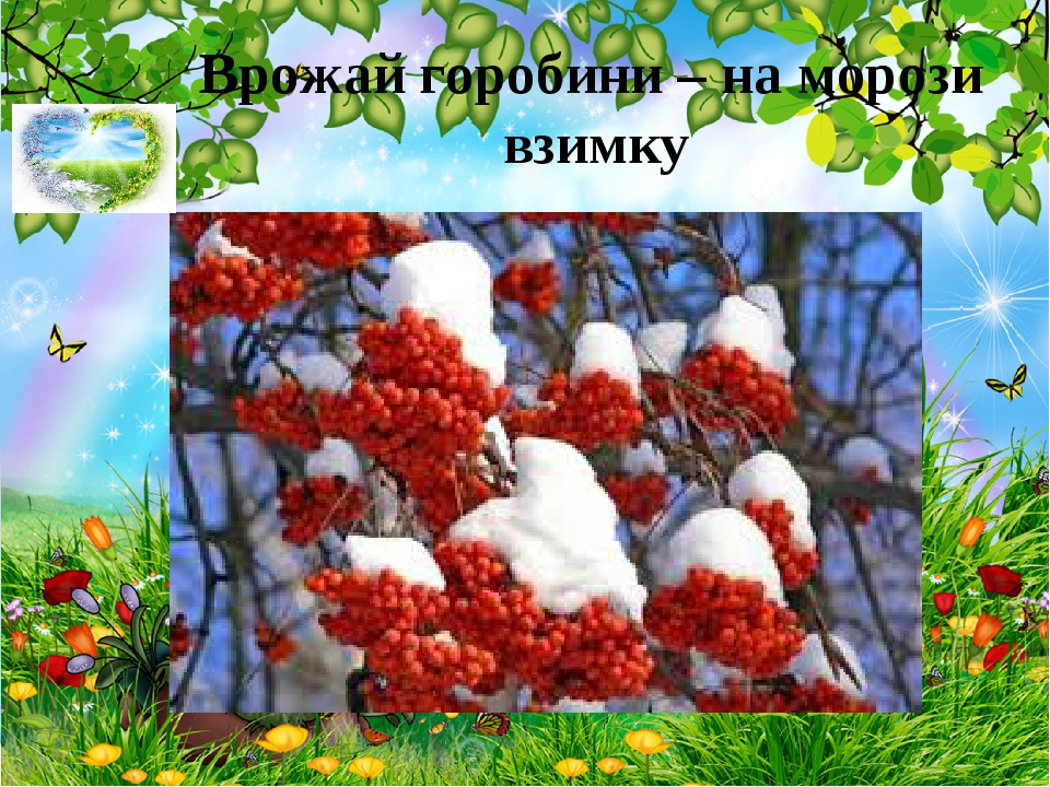 Врожай горобини – на морози взимку