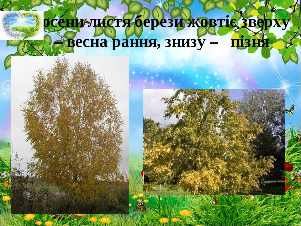 Восени листя берези жовтіє зверху – весна рання, знизу – пізня
