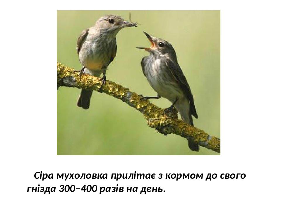 Сіра мухоловка прилітає з кормом до свого гнізда 300–400 разів на день.