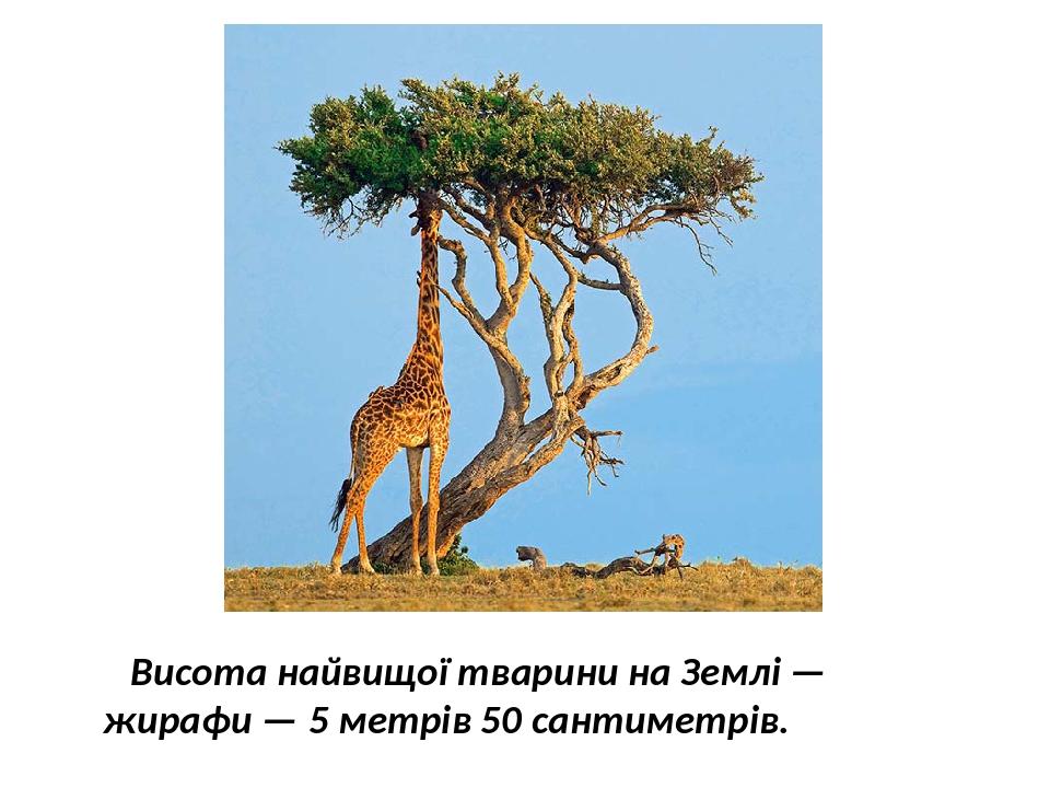 Висота найвищої тварини на Землі — жирафи — 5 метрів 50 сантиметрів.