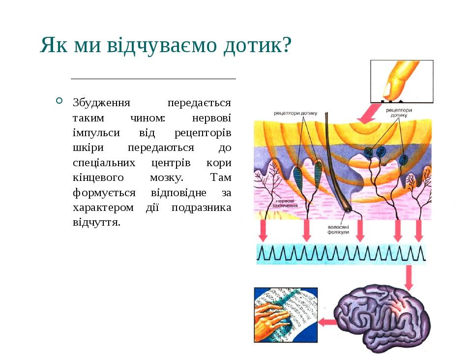 Як ми відчуваємо дотик? Збудження передається таким чином: нервові імпульси від рецепторів шкіри передаються до спеціальних центрів кори кінцевого ...