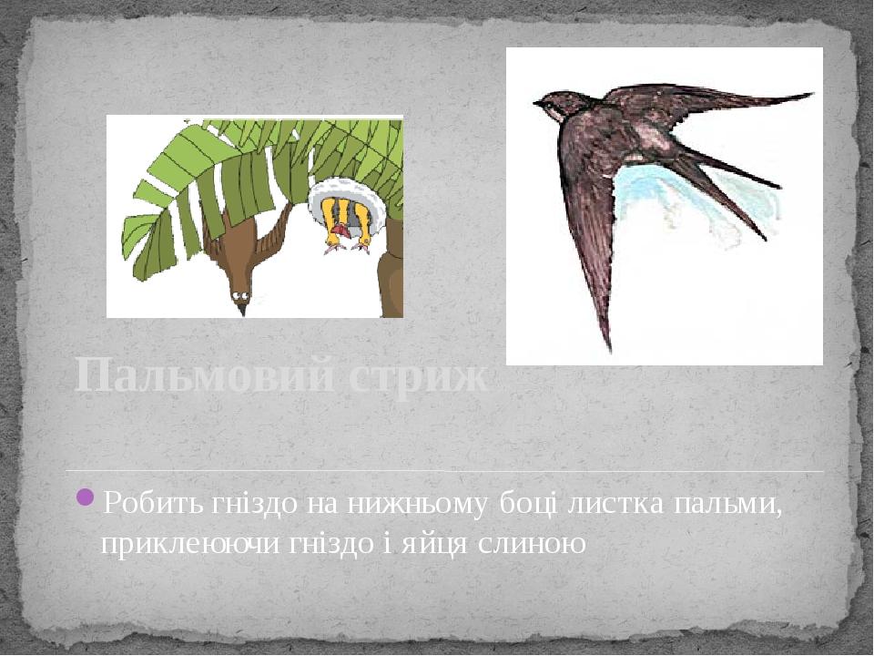 Пальмовий стриж Робить гніздо на нижньому боці листка пальми, приклеюючи гніздо і яйця слиною
