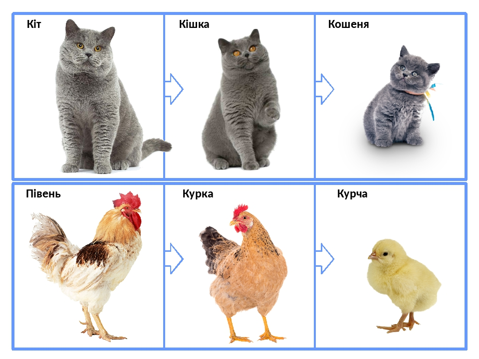 Кіт Кішка Кошеня Півень Курка Курча