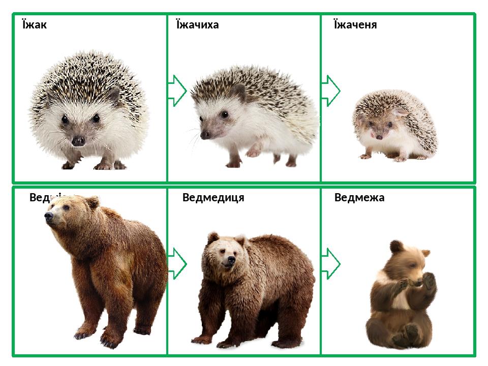Їжак Їжачиха Їжаченя Ведмідь Ведмедиця Ведмежа