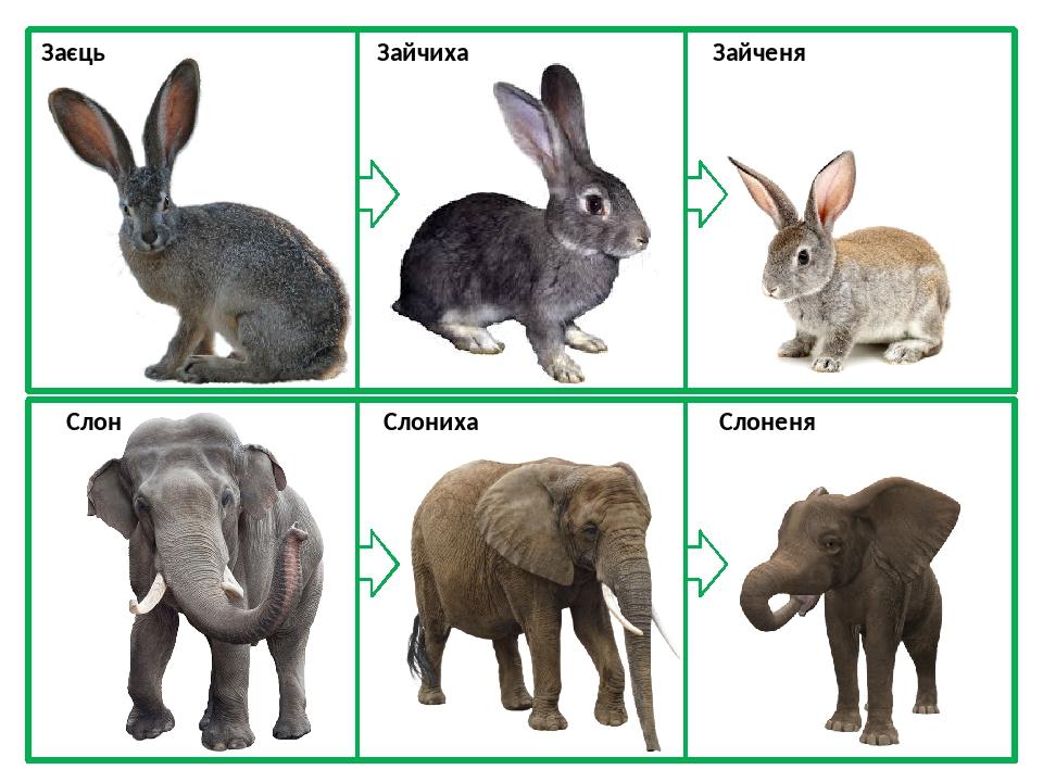 Заєць Зайчиха Зайченя Слон Слониха Слоненя